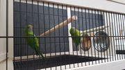 2 Schildsittiche mit Käfig
