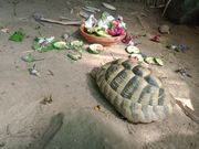 Grieschiche Landschildkröten Männchen