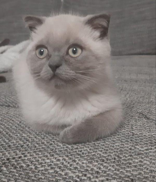 Reinrassige BKH Scottisch Fold kitten