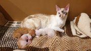 Kornish Rex Kitten Kätzchen