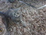 Baby Katzen Britisch Kurzhaar Babykatzen