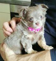 Chihuahua Mädchen in Lilac Tan