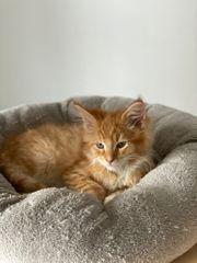 Süße Main Coon Kitten