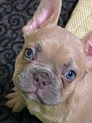 Französische Bulldogge Welpen New Shade