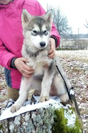 Alaskan Malamute Rüde 4 Monate