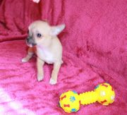 Extra Mini Chihuahua Welpen Teacup