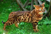Bengal Cat Bengalkatze Zuchtaufgabe