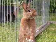 Männliches Kaninchen in Außenhaltung
