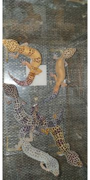 leopardgeckos 5er Gruppe