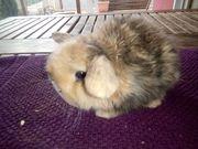 Kleine tolle Minilop Kaninchen Babys