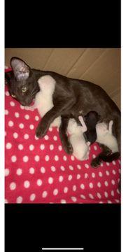 Super süße Siam OKH-Kitten