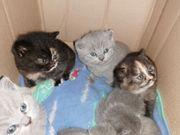 Nur 2 BKH Kitten frei