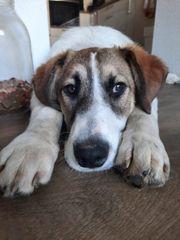 Yuri geb Sep20 - Bildhübscher Junghund
