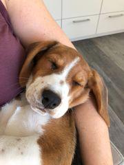 Beagle Welpen 12 Wochen