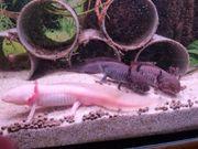 6 Axolotl zu verkaufen