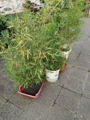 Schöne Bambus-Pflanzen für je nur