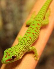 Madagaskar Taggeckos