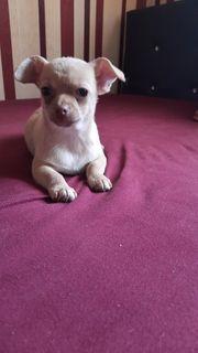 Mini Chihuahua Reinrassigen Hündin