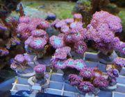 Meerwasser Korallen Ableger ab 5