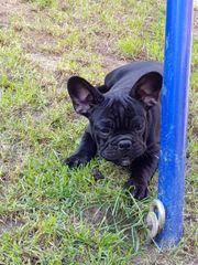 Französische Bulldogge Weibchen