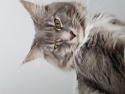Deckkater Maine Coon