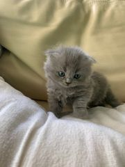 Scottish Fold Longhair Highland Blue