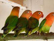 Pfirsichköpfchen Opalin Grün und Wildfarben