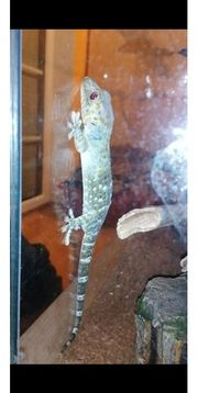 Tokeh Gecko Terrarium Zubehör