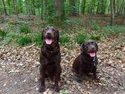 9 braune Labrador Welpen