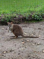 Parma Wallaby Känguru Bock