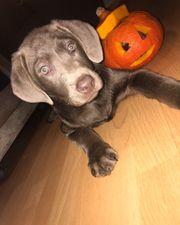 Labrador Welpe Silver