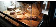 2 Leopardgecko mit Terrarium und