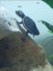 Wasserschildkröte Emydura Subglobosa