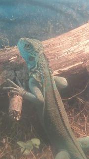 Tausche verkaufe Iguana Iguana blau