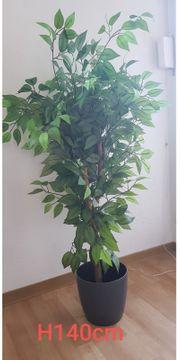 Ficus mit Übertopf