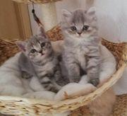 bkh und blh Katzen kitten