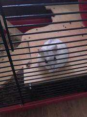 Dsungarisches Hamster Weibchen