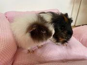 Zwei Meerschweinchenböcke suchen neues Zuhause