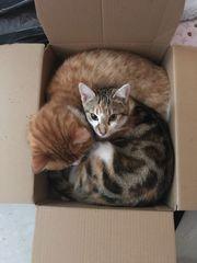 Bengal EKH Mix Kitten 5