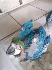 papagei Arauna