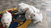 Pomeranian Zwergspitz Welpen freuen sich