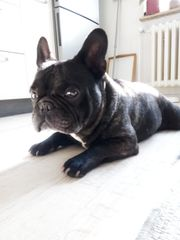 Französische Bulldogge Deckrüde kein Verkauf