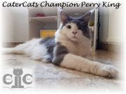 Mainecoon Deckkater Champion blue-smoke-white