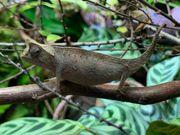 Brookesia Superciliaris 1 1