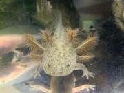 Axolotl Wildfarben sucht noch ein