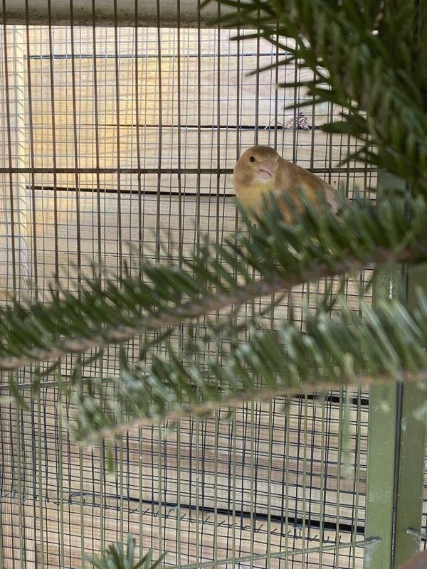 Schottische Grünfinken, Zuchtpaar aus 2019