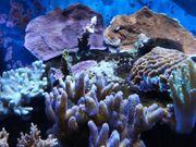 Meerwasser Montiporaplatten