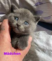 BKH Kitten 3