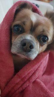 Deckrüde Chihuahua zwergspitz mix