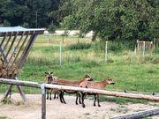 3 weibliche Schafe suchen dringend